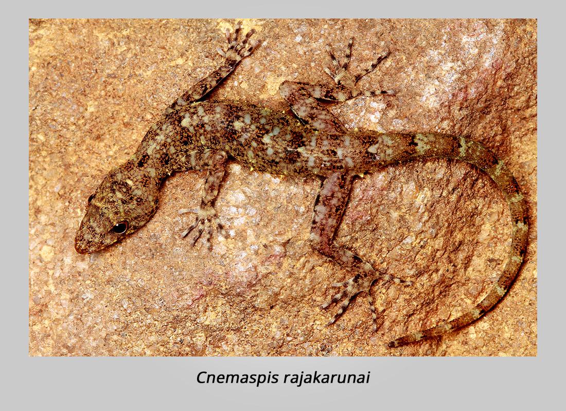 cnemaspis-rajakarunai-mendis-wickramasinghe